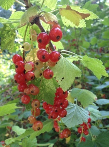 Currants vine