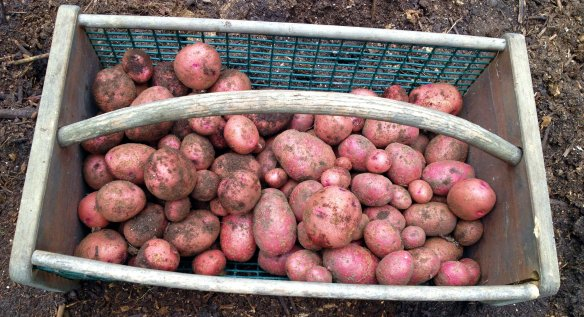 potatoes crop