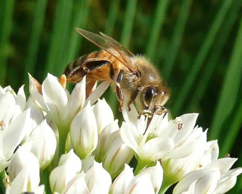 honey bee 1 new crop