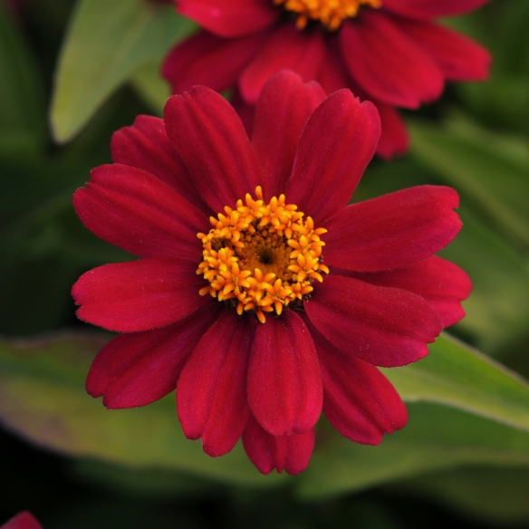 Zinnia_ZaharaCherry_SQ_centered.1