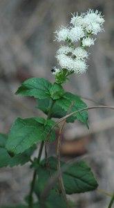 Lesser snakeroot/delawarewildflowers.org